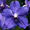 Vanda Pachara Delight hybrid, orchid hybrid, deep blue flower, Pacific Orchid Expo 2015, San Francisco, California