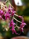 Lepanthopsis astrophora flowers, miniature orchid species, grown indoors in San Francisco, California