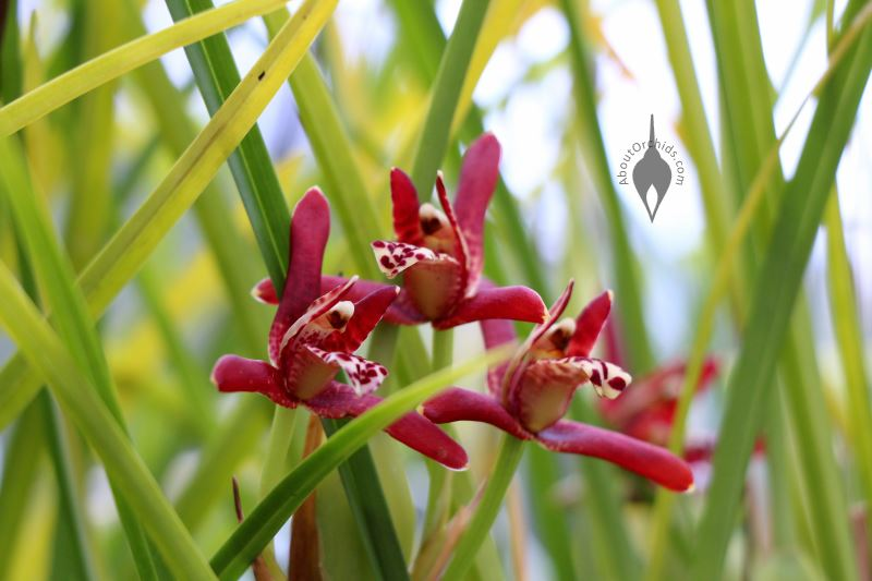 B00KQ2Q3C6 further Maxillaria Tenuifolia Pr205 besides T927905 50 together with Orchids Botanicals also 14 55 1. on orchid maxillaria tenuifolia care