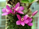 Dendrobium laevifolium, mini orchid species with bright pink flowers, Orchids in the Park 2014, San Francisco, California