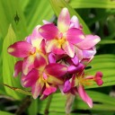 Spathoglottis flowers, pink and yellow orchid hybrid, Foster Botanical Garden, Honolulu, Hawaii