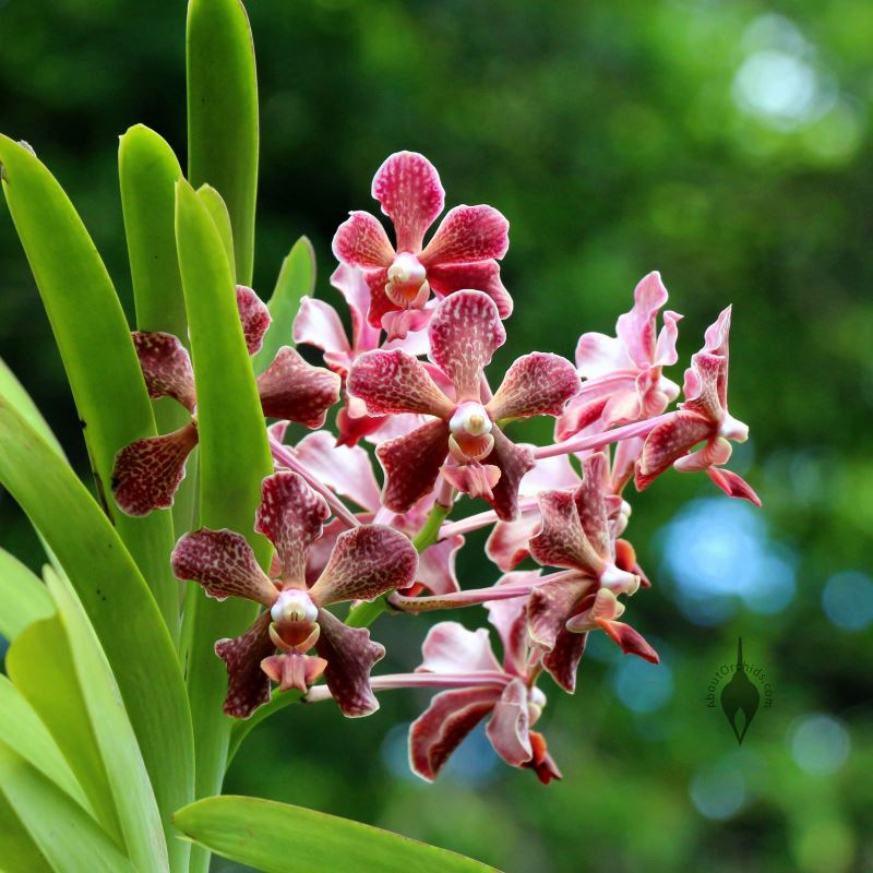 Aboutorchids blog archive orchid care for a hot summer - Vanda orchid care ...