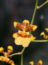 Oncidium sphacelatum, Popcorn Orchid, orchid species in the Palm House, Kew Gardens, London, UK