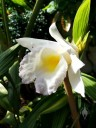 Sobralia macrantha, orchid species with white and yellow flower at the Chelsea Physic Garden, London, UK