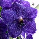 Vanda orchid flower, Princess of Wales Conservatory, Kew Gardens, London, UK