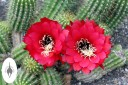 Echinopsis huascha cactus with brilliant red blooms, Princess of Wales Conservatory at Kew Gardens, London, UK