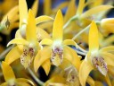 Dendrobium orchid, yellow white and purple flowers, Pacific Orchid Expo 2015, San Francisco, California