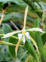 Epidendrum orchid, yellow and white flower, Princess of Wales Conservatory, Kew Gardens, London, UK