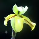Paphiopedilum druryi, Lady Slipper, orchid species, Princess of Wales Conservatory, Kew Gardens, London, UK