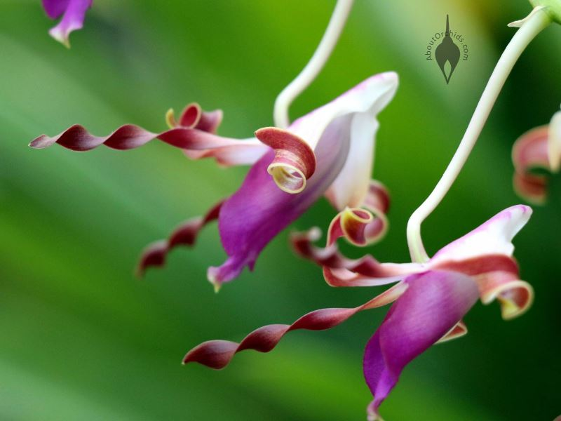 Aboutorchids 187 Blog Archive 187 Antelope Dendrobium Orchids