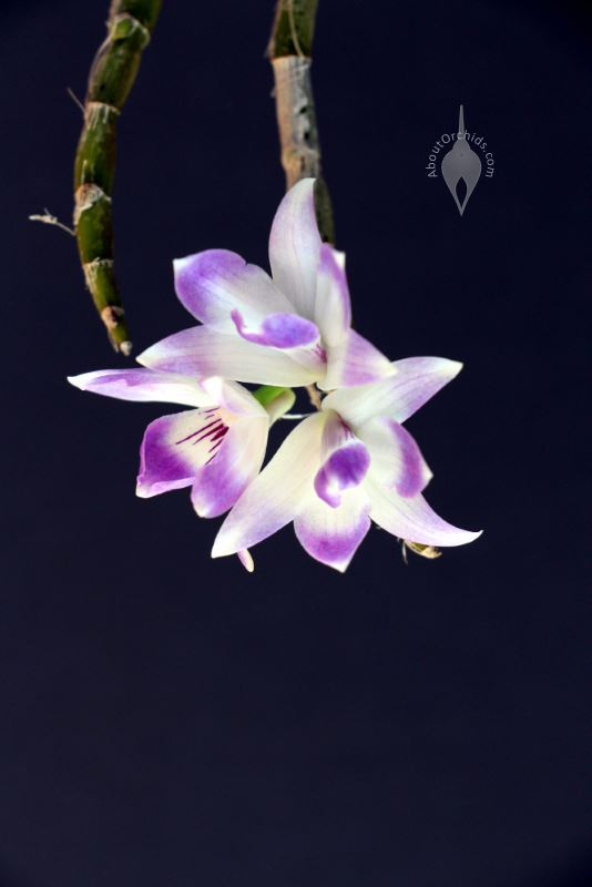 Aboutorchids 187 Blog Archive 187 The Blue Orchid Queen