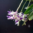 Dendrobium victoriae-reginae, orchid species from the Philippines, grown outdoors in Pacifica, California, white and purple flowers hanging down from pseudobulbs
