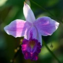 Arundina graminifolia, orchid species, Bamboo Orchid, growing outdoors in Quepos, Costa Rica