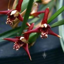 Maxillariella tenuifolia, aka Maxillaria tenuifolia, Coconut Orchid, orchid species with red and white fragrant flowers, grown in San Francisco, California