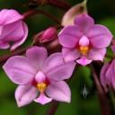 Spathoglottis plicata, Philippine Ground Orchid, orchid species, growing wild in Kea'au, Hawaii