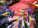 Tank bromeliad flowers, grown outdoors in Pacifica, California
