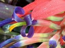 Tank bromeliad flower close up, grown outdoors in Pacifica, California
