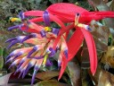 Tank bromeliad flowers and unopened buds with bright pink flower bracts, grown outdoors in Pacifica, California