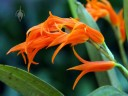 Brassia aurantiaca, aka Ada aurantiaca, orchid species, orange flowers, grown outdoors in San Francisco, California