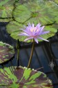 Water lily with variegated leaves, Waterlily House, Kew Gardens, London, UK