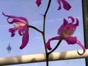 Laelia flowers, Epiphyte House, Zurich Succulent Plant Collection, Sukkulenten-Sammlung Zürich, Switzerland