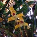 Maxillaria picta, orchid species, Epiphyte House, Zurich Succulent Plant Collection, Sukkulenten-Sammlung Zürich, Switzerland