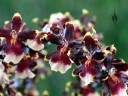 Oncidium hybrid, Dancing Lady Orchid flowers, Pacific Orchid Expo 2015, San Francisco, California