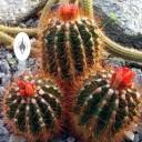 Parodia horstii, cactus species in flower, Zurich Succulent Plant Collection, Sukkulenten-Sammlung Zürich, Switzerland