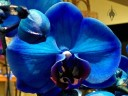 Moth Orchid hybrids, Phalaenopsis flowers dyed blue, on sale in a supermarket
