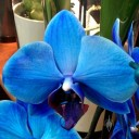 Moth Orchid hybrid, Phalaenopsis flower dyed blue, on sale in a supermarket