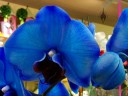 Moth Orchid hybrid, Phalaenopsis flower and bud dyed blue, on sale in a supermarket