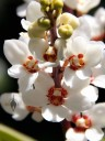 Sarcochilus hartmannii, orchid species, grown outdoors in San Francisco, California