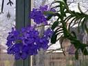 Vanda flowers and plant, Epiphyte House, Zurich Succulent Plant Collection, Sukkulenten-Sammlung Zürich, Switzerland