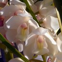 Cymbidium flowers and leaves, orchid hybrid, grown outdoors in Pacifica, California