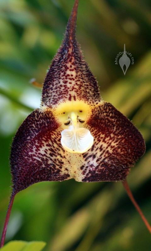 Crowds Flock To An View Orchid Species Resembling A Monkey S Friendly Face