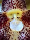 Dracula polyphemus 'Angel' AM/AOS, orchid species, close up of flower which looks like a monkey face, Pacific Orchid Expo 2013, San Francisco, California