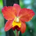 Cattleya orchid hybrid, Vallarta Botanical Gardens, El Tuito, Jalisco, Mexico
