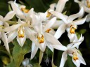 Coelogyne corymbosa, orchid species in flower, Pacific Orchid Expo 2015, San Francisco, California