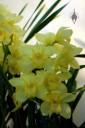 Cymbidium orchid hybrid, yellow flowers, Pacific Orchid Expo 2015, San Francisco, California