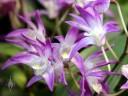 Dendrobium kingianum, Australian orchid species, fragrant flowers, Pacific Orchid Expo 2015, San Francisco, California