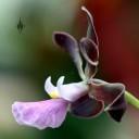 Encyclia orchid, side view of flower, Vallarta Botanical Gardens, El Tuito, Jalisco, Mexico
