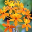 Epidendrum orchid, orange flowers, Vallarta Botanical Gardens, Jardín Botánico de Vallarta, El Tuito, Jalisco, Mexico