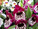Miltoniopsis flowers, Pacific Orchid Expo 2016, San Francisco, California