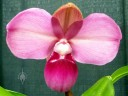 Phragmipedium kovachii, Lady Slipper orchid species, Pacific Orchid Expo 2016, San Francisco, California