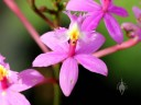 Epidendrum orchid flower, Vallarta Botanical Gardens, Cabo Corrientes, Jalisco, Mexico