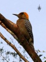 Golden Cheeked Woodpecker, Melanerpes chrysogenys, Vallarta Botanical Gardens, Cabo Corrientes, Jalisco, Mexico