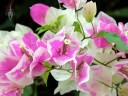Variegated Bougainvillea, white and pink bracts, Vallarta Botanical Gardens, Cabo Corrientes, Jalisco, Mexico