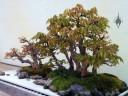 Acer buergerianum, Trident Maple, penjing display, National Bonsai and Penjing Museum, US National Arboretum, Washington DC