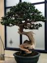 Buttonwood, Conocarpus erectus, National Bonsai and Penjing Museum, US National Arboretum, Washington DC