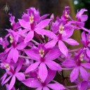Epidendrum species, orchid with purple flowers, Botanical Garden of the University of Zurich, Switzerland